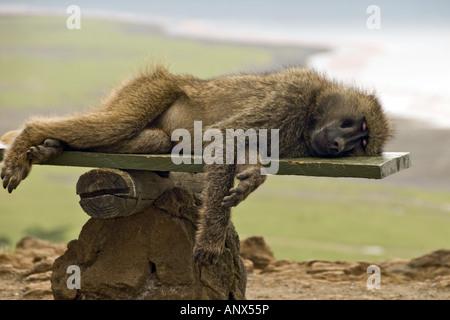 yellow baboon, savannah baboon, anubius baboon, olive baboon (Papio anubis, Papio cynocephalus anubis), Olive Baboon - Stock Photo