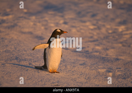 A gentoo penguin stands on snow covered ground on Petermann Island - Stock Photo