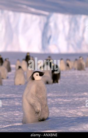 Antarctica, Australian Antarctic Territory, Auster 'EP' Rookery. Emperor Penguin chicks (Aptenodytes forsteri) - Stock Photo
