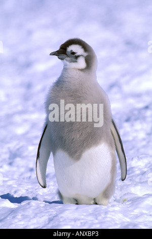 Antarctica, Australian Antarctic Territory, Auster 'EP' Rookery. Emperor Penguin chick (Aptenodytes forsteri) - Stock Photo