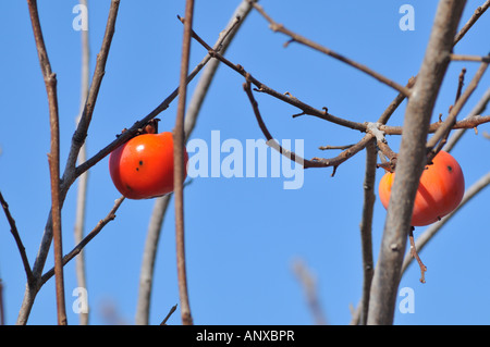 Israel Persimmon trees in a plantation Winter January 2008 - Stock Photo
