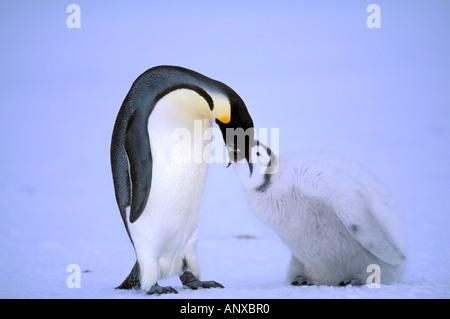 Antarctica, Australian Antarctic Territory, Auster 'EP' Rookery, Emperor Penguin feeding chick (Aptenodytes forsteri) - Stock Photo