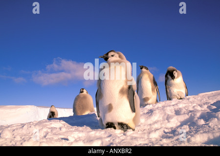 Antarctica, Australian Antarctic Territory, Auster 'EP' Rookery, Emperor Penguin chicks (Aptenodytes forsteri) - Stock Photo