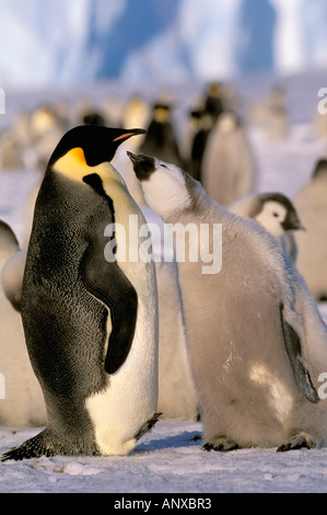 Antarctica, Australian Antarctic Territory, Auster 'EP' Rookery, Emperor Penguins (Aptenodytes forsteri) - Stock Photo