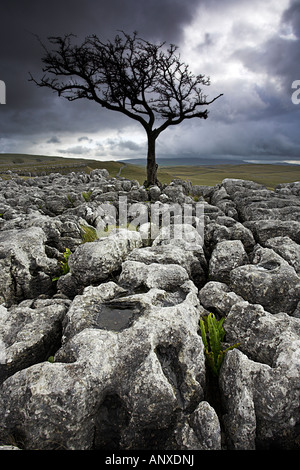 Lone Hawthorn Tree and Limestone Pavement at Conistone Dib above the Yorkshire Dales village of Conistone, Wharfedale, - Stock Photo