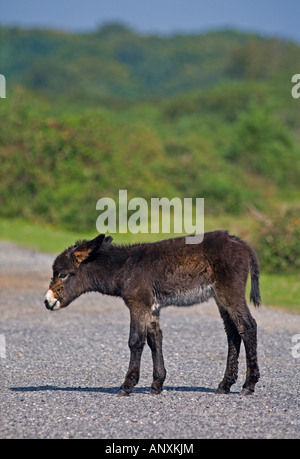 Dark Brown Donkey Foal, New Forest, Hampshire, England - Stock Photo