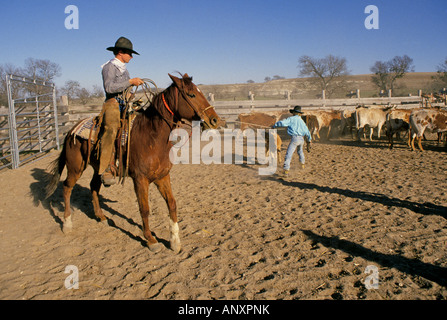 Portrait of a cowboy with a lariat or riata roping a calf on a cattle ranch near Fort Worth Texas - Stock Photo
