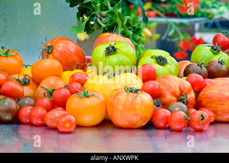 Heirloom tomatoes variety on table harvested displays mix bounty of kinds, striped, yellow, green, cherry, brown, - Stock Photo