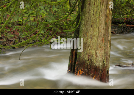 Old growth Western red cedar tree in middle of winter creek runoff Goldstream Provincial Park British Columbia Canada - Stock Photo