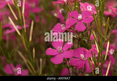 Silene spp. cultivar (fruits in the background are from other mixed species) - Stock Photo