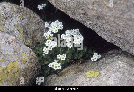 Close-up of White Saxifrage Saxifraga flowers in Pirin National Park Bulgaria - Stock Photo