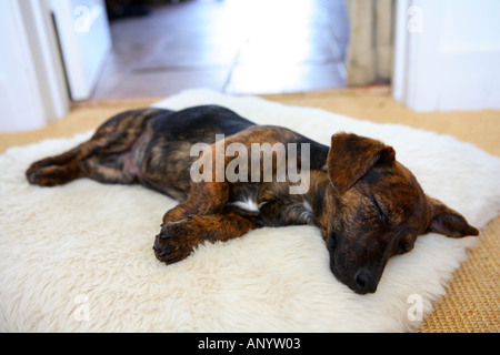 Black and tan Jack Russell terrier pedigree puppy sleeping in his bed England United Kingdom - Stock Photo
