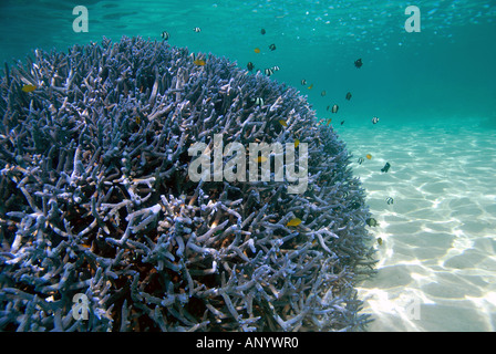 Healthy coral with fish in sheltered lagoon environment - Stock Photo