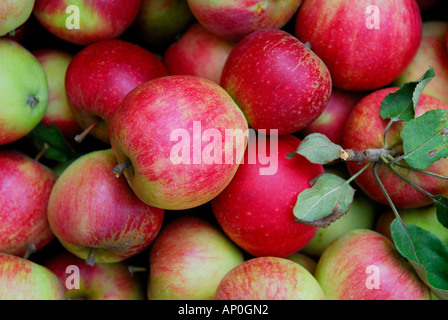 english red windsor apples - Stock Photo