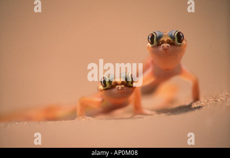 Web footed geckos Palmatogecko rangei Namib Desert Namibia - Stock Photo