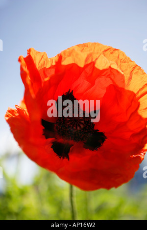 Close Up Of Giant Red Poppy - Stock Photo