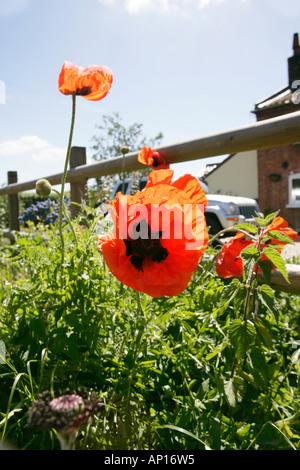 Giant Poppies Roadside Norfolk UK - Stock Photo