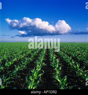 Agriculture - Mid growth stage grain corn field in morning light with a cumulus cloud above / Iowa, USA. - Stock Photo