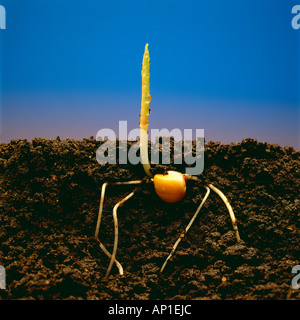 Closeup cutaway side view of a dew covered grain corn seedling emerging from the ground showing the root structure, - Stock Photo