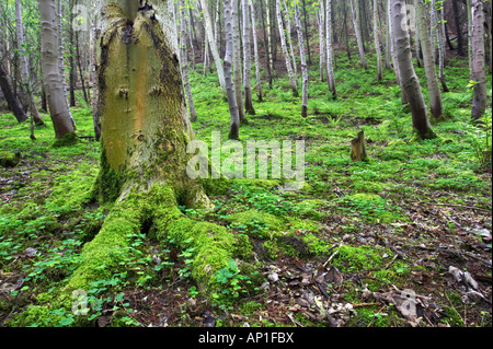 Moss and clover growing on the floor of birch woodland in Guisborough Woods, North Yorkshire. UK - Stock Photo