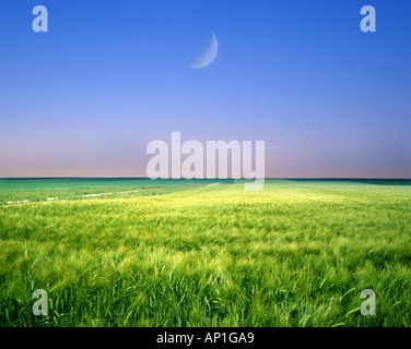 FR - CHAMPAGNE: Moon over Wheat Field - Stock Photo