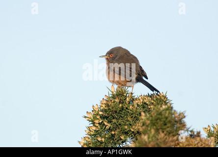 Dartford Warbler Sylvia undata female on lowland heath Surrey April - Stock Photo
