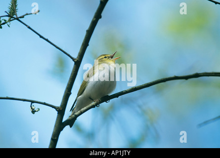 Wood Warbler Phylloscopus sibilatrix in song New Forest Hants May - Stock Photo