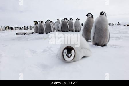 Emperor Penguin Aptenodytes chicks at rookery on sea ice of Weddell Sea near Snow Hill Island Antarctica November - Stock Photo