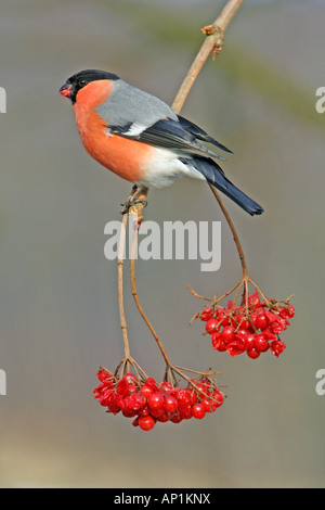Bullfinch (Pyrrhula pyrrhula), male feeding on Guelder Rose berries (Viburnum opulus) in garden - Stock Photo