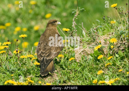 Chimango Caracara Milvago chimango Tierra del Fuego Argentina November - Stock Photo