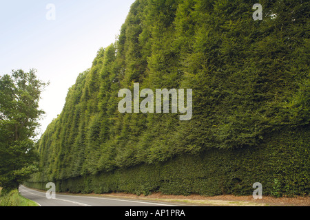 Meikleour Beech Hedge Highest Hedge In The World Perthshire Scotland UK - Stock Photo