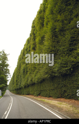 Meikleour Beech Hedge Tallest Hedge In The World Perthshire Scotland UK - Stock Photo
