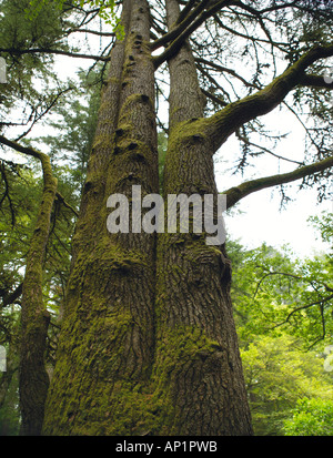 Multiple Trunks Of A Douglas Fir The Hermitage Dunkeld Perthshire Scotland UK - Stock Photo