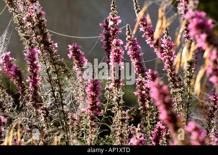 Early morning light catches the dew on cobwebs strung up between the flower spikes of Lythrum The Rocket - Stock Photo