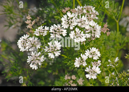 Coriander (Coriandrum sativum), flowering - Stock Photo