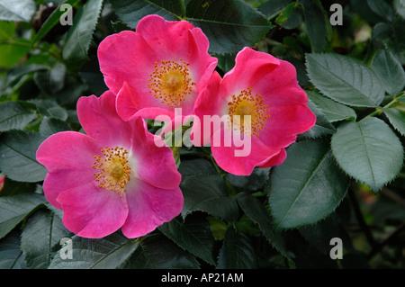 Common Briar, Dog Rose (Rosa canina), variety: Kiese, flowers - Stock Photo