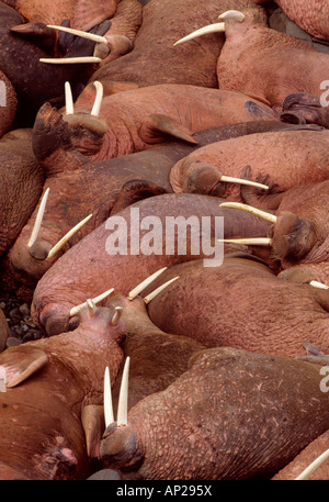 Batchelor walrus Pacific Odobenus rosmarus divergens haul out on Round Island Alaska - Stock Photo