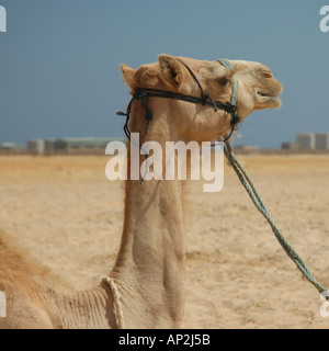 Portrait of a Bedouin's camel tethered on the beach at Nuweiba in Egypt - Stock Photo