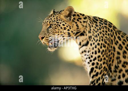 Asian leopard - Stock Photo