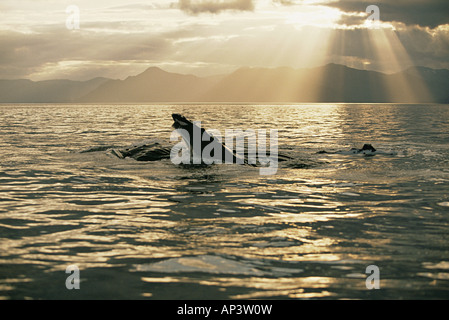 Lunge feeding humpback whale - Stock Photo