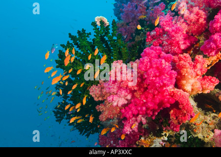 South Pacific, Fiji, Viti Levu, Bligh Water, Coral Reef, Multicolor Soft Corals (Dendronepthya sp.) - Stock Photo
