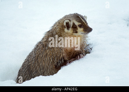 American badger Taxidea taxus looking at sett entrance in snow in winter Montana USA - Stock Photo