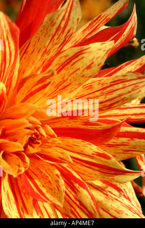 yellow and orange striped Dahlia flower showing texture and pattern at Buga in Munich Germany - Stock Photo