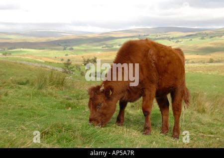Short Horned cattle grazing on Ingleborough National Nature Reserve North Yorkshire England - Stock Photo