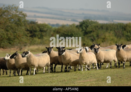 Rough Fell sheep at Martin Down National Nature Reserve Hampshire England - Stock Photo