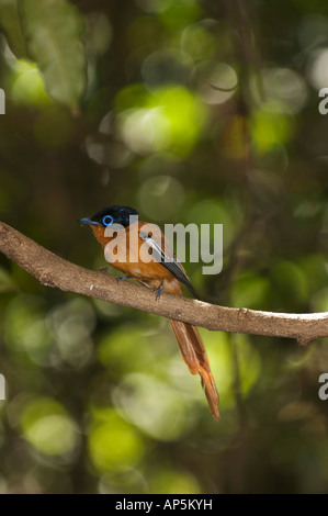Madagascar paradise flycatcher, Terpsiphone mutata, Ankarana Special Reserve, Madagascar - Stock Photo
