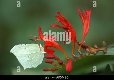 Large White Butterfly on Crocosmia 'Lucifer' Flower - Stock Photo