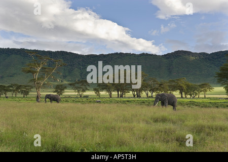 Grazing elephants and rhino amongst the golden acacia trees in the Ngorongoro Crater of Tanzania - Stock Photo