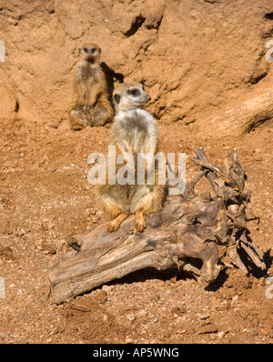 A meerkat standing sentry on a log with a second family member watching from the background - Stock Photo