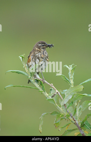 Redwing Turdus iliacus summer adult with bill full of insects perched in willow Iceland August - Stock Photo